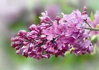 Leylak çiçeğinin yakın bir görüntüsü