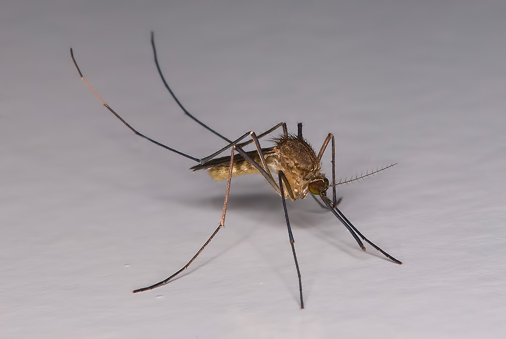 Картинка комаров самец