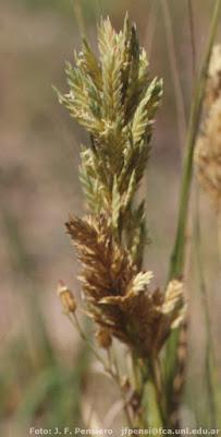 Pelo de chancho (Distichlis spicata)