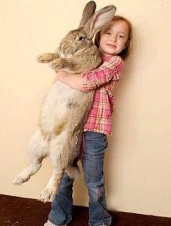 Rabbit kelinci paling terbesar