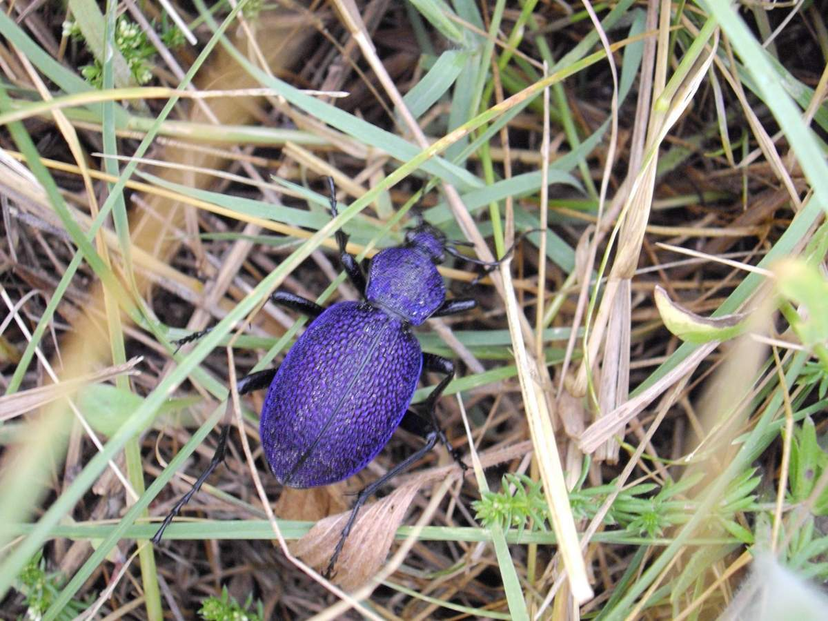 Carabus intricatus (Mavi Böcek) Nedir ?