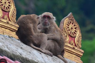 Macaque crabier - Macaca fascicularis