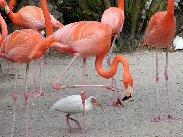 Flamingo facts and information 7