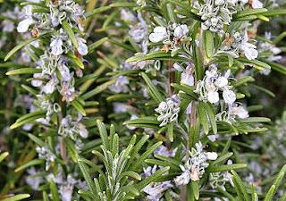 umumnya dipercaya cukup ampuh untuk menyembuhkan rematik dan flu Tumbuhan Berkhasiat 10 Manfaat dan Khasiat Daun Bunga Rosemary Untuk Kesehatan
