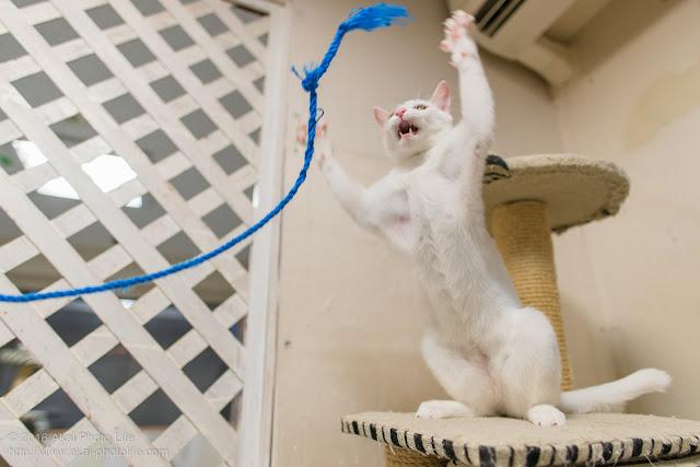 猫カフェ 西国分寺シェルターにいた遊び好きな白猫が激しく紐にじゃれている瞬間を写した写真