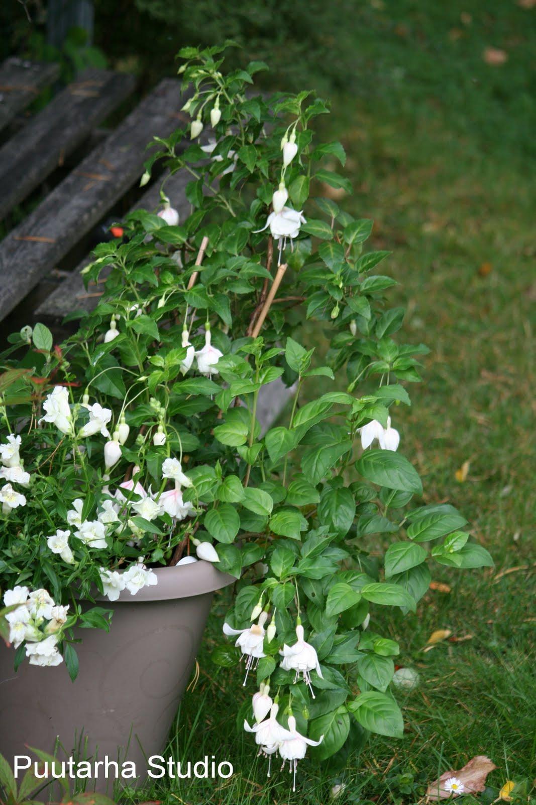 Sarin puutarhat: Verenpisaran talvettaminen
