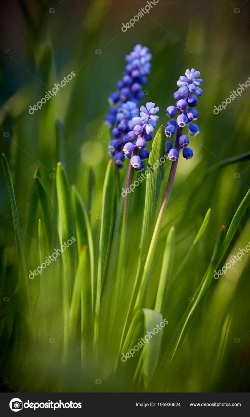 Blue Muscari Flowers Rays Setting Sun Selective Focus Copy Space