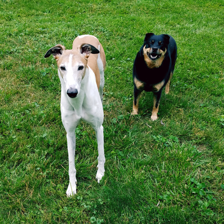 image of Dudley the Greyhound and Zelda the Black and Tan Mutt standing in the grass in the backyard