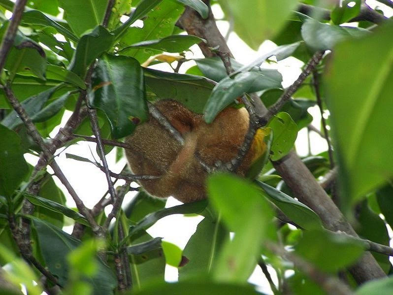 Silky anteater sleeping, location: Damas Island, Costa Rica