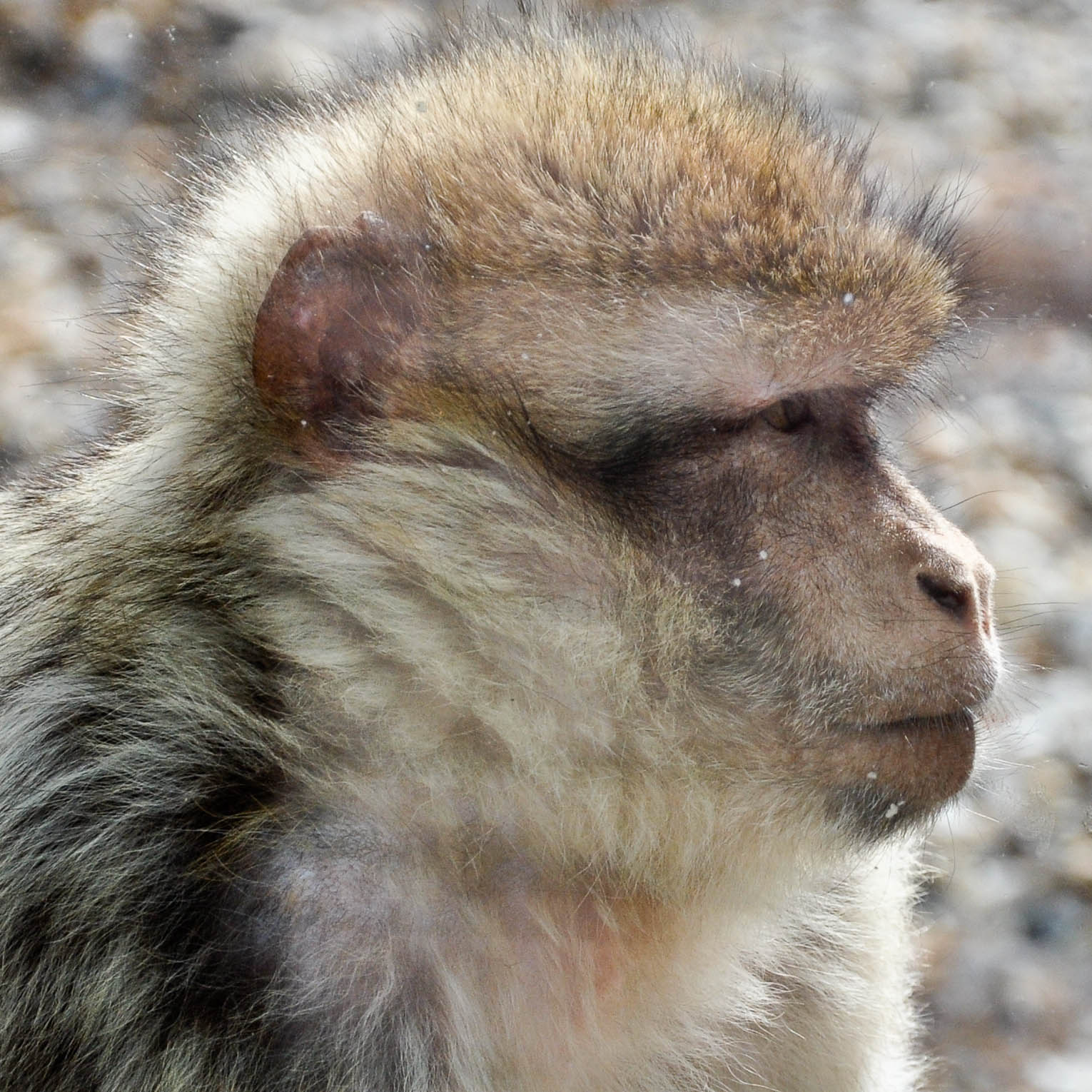 Close-up of a monkey,  Monkey Haven, Isle of Wight, UK