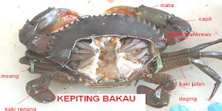 termasuk binatang yang Unik alasannya kepiting sanggup hidup di darat dan di air Kabar Terbaru- MENGENAL BAGIAN TUBUH KEPITING BAKAU
