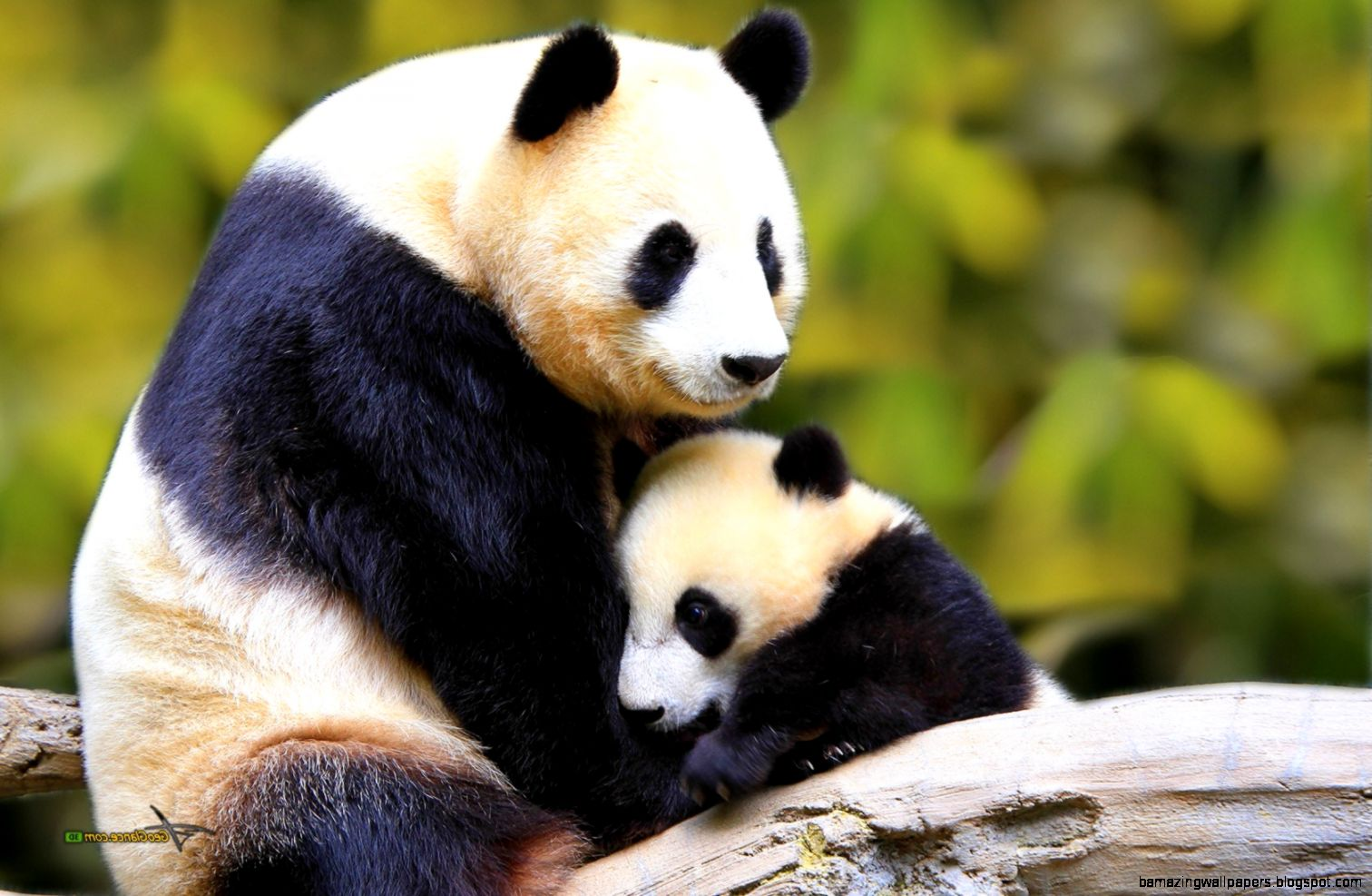 Cute Baby Panda Wallpaper | Amazing Wallpapers