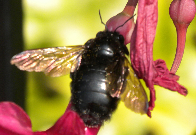 Black Bumble Bee >> Garden Guy Hawaii What Are The Large Black Bees Hovering