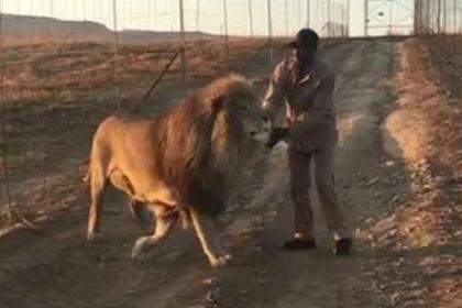 Ini yang Dilakukan Pria Saat Didekati Singa Besar, Bikin Kaget