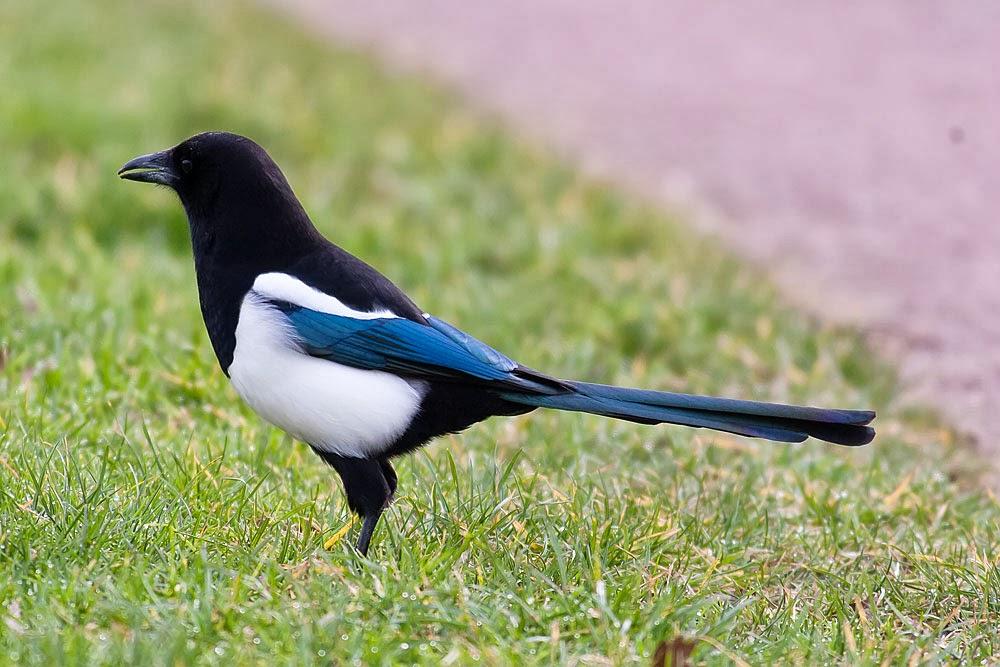 Black-billed Magpie (Pica Pica) Lodge Lake, Milton Keynes