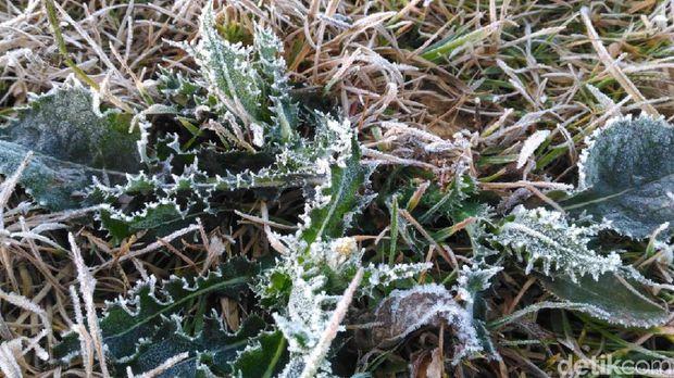 Ini Bukan Di Eropa, Suhu Dingin Membuat Tanaman Diselimuti 'Salju' Di Brebes