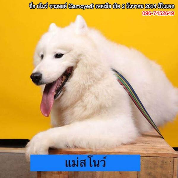 Samoyed_03.jpg