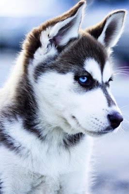 Siberian Husky hay con goi la cho Husky