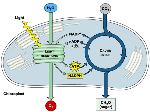Light reactions and Calvin cycle