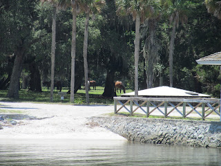 Viewing the wild horses on cumberland island while traveling on the amelia river cruise