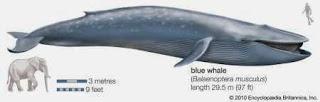 ukuran paus biru vs gajah