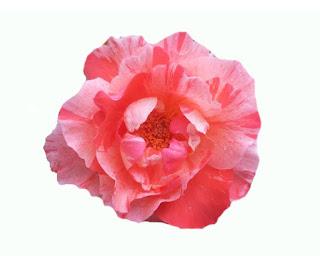 Bunga Cantik Ranunculus