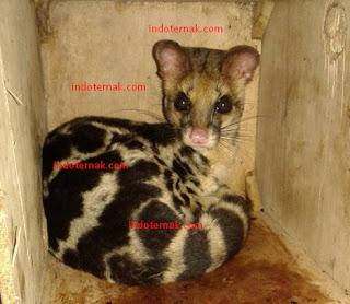 Linsang juga termasuk salah satu hewan yang dilindungi