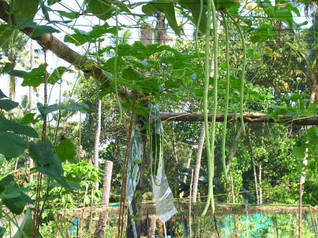 The Urban Gardener | vegetable garden at Marari Beach