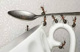 Domestic Remedies to Get Rid of Ants
