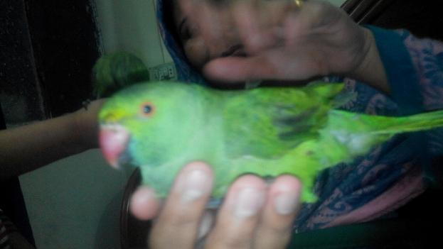 Ammar Imtiaz's  Parrot Braowo