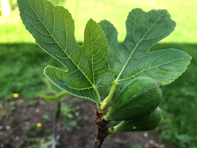 May 15, 2018 Pleased that our fig is producing fruit so early.