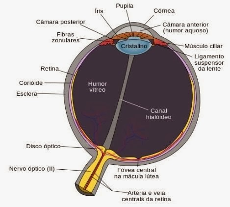 Anatomia dos olhos humano - 469x422