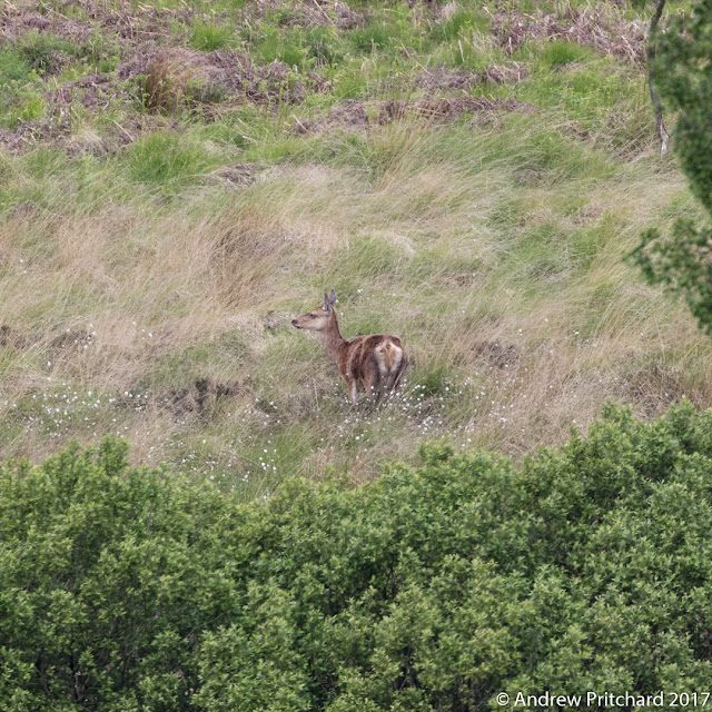 A hind has something with her in a clearing in the woods.