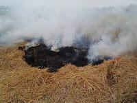 Inilah 4 Dampak Buruk Pembakaran Jerami Dilahan Sawah