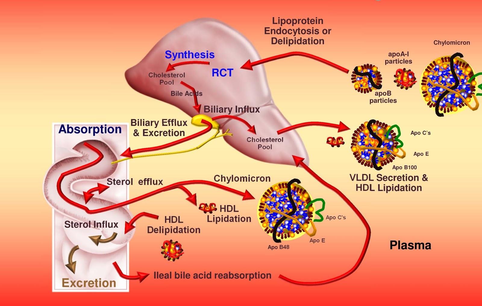 Fisiopatologia cetoacidosis diabetica