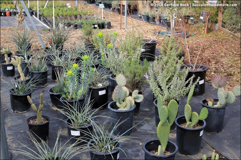 Silver Spurge Or Gopher Plant Euphorbia Rigida