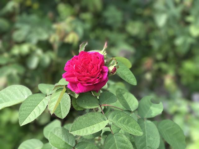 Rose de Rhest (c) by Joachim Wenk