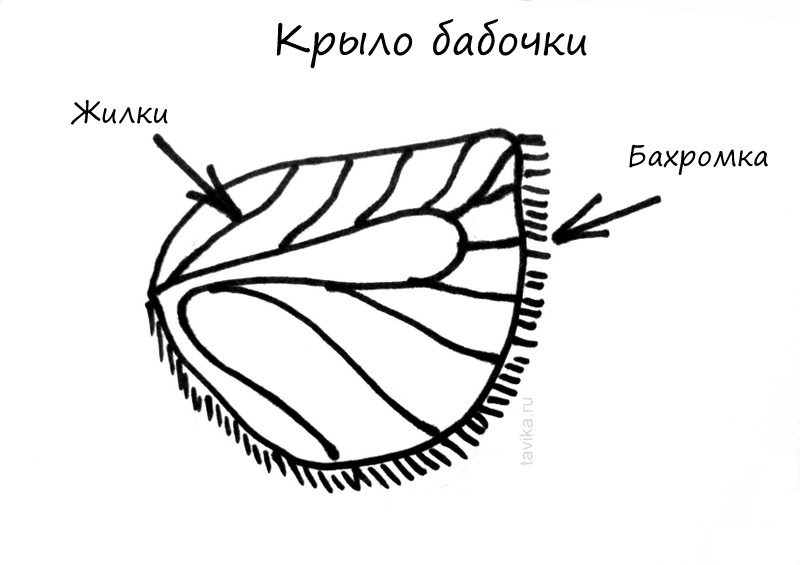 Как устроено крыло бабочки