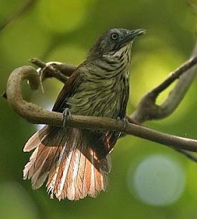 download suara burung ciung air