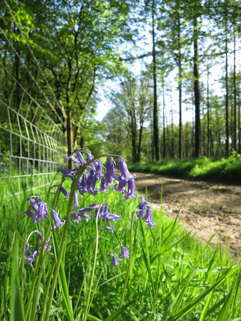 Bluebells between fence and path with straight-trunked trees