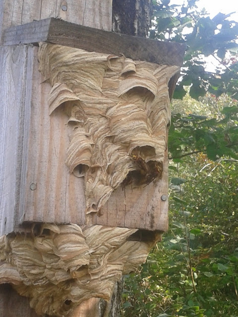 European Hornet's nest - Photo copyright Devon Wildlife Trust (All Rights Reserved)