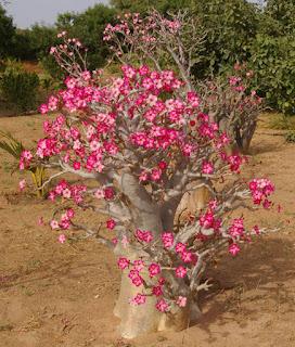 arboles Adenium obesum
