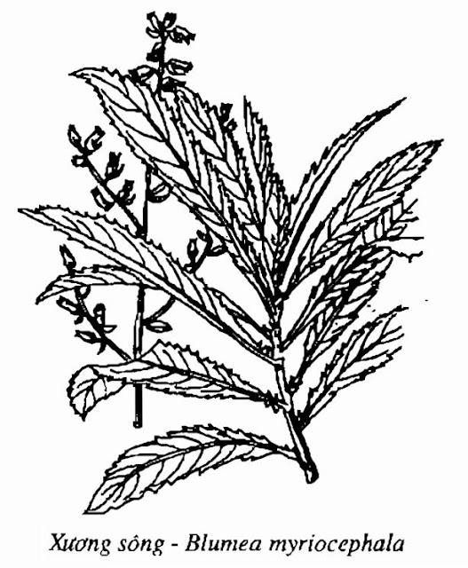 Hình vẽ Xương Sông - Blumea myriocephala - Nguyên liệu làm thuốc Chữa Cảm Sốt