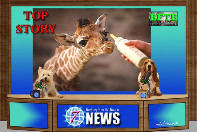 BFTB NETWoof News reports on The Animal Adventure Park giraffe baby watch