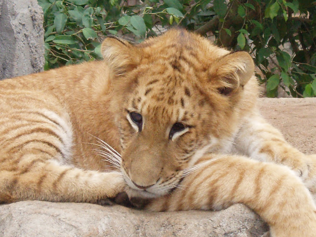 Tiger hybrid - photo#49