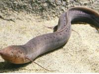 Ternyata Ikan Yang Bisa Hidup Di Darat Ini Diceritakan Dalam Surah Al-Kahfi  Dan Kisah Nabi Musa