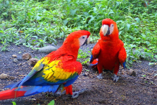 Scarlet Macaw in Depth Article