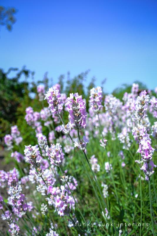 lavender against a blue sky