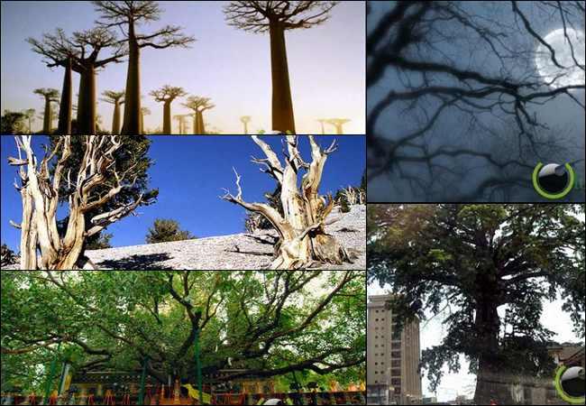 10 Pohon yang paling Keramat di Dunia