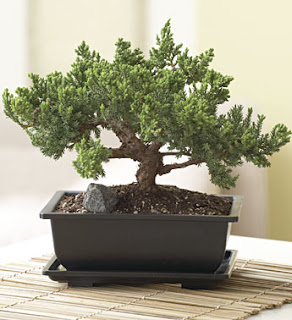https://www.lovemybonsai.com/giveaways/juniper-bonsai-2/?lucky=4486